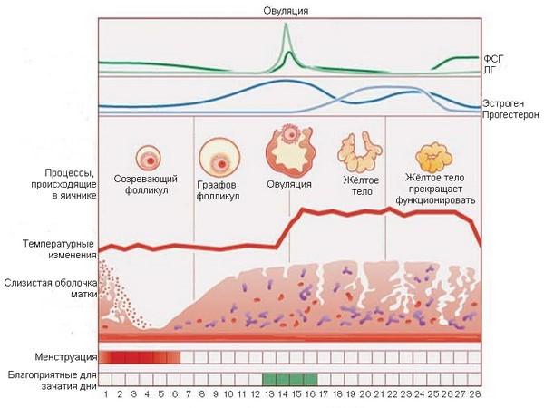 Что такое лютеиновая фаза меснтруационного цикла