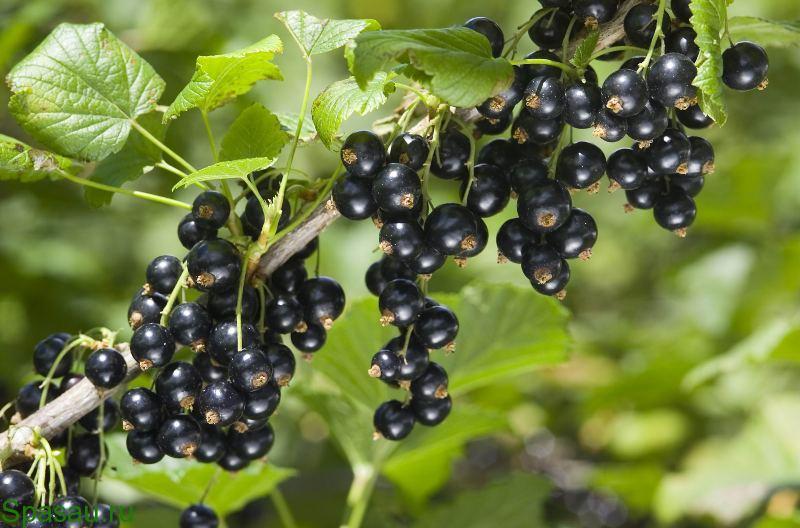 Полезные свойства черной смородины