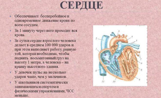 Частота сердечных сокращений увеличивается