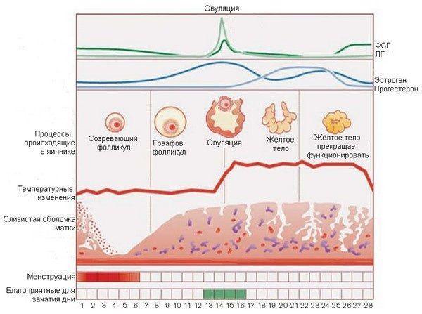 Нормальный цикл менструации