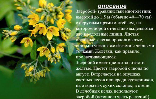 Зверобой - травянистый многолетник