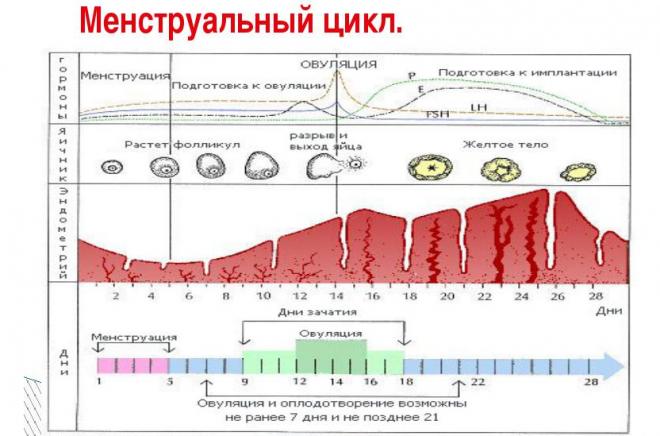 Менструальный цикл, информация