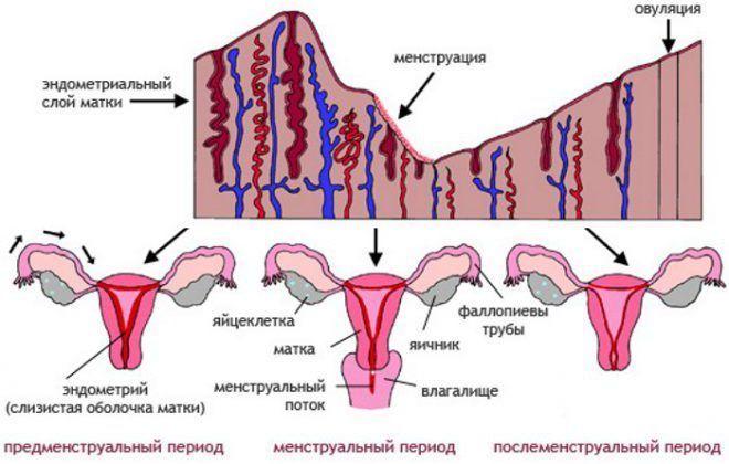 Цикл месячных после родов